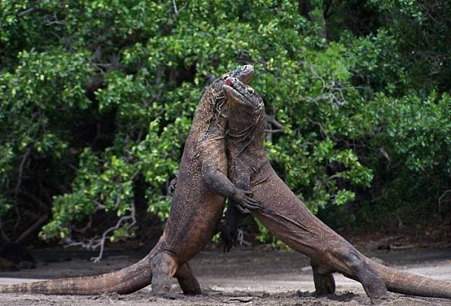 Two male Komodo dragons fight over a female dragon during courtship on Komodo island in the Komodo National Park on December 17, 2010 .