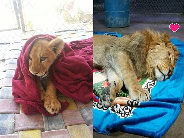 獅子愛窩小被被 沒有它睡不著背後原因令人鼻酸