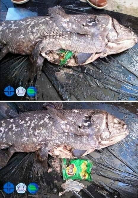 Ikan raja laut dengan sampah plastik dalam perutnya (DOK. PROF MARKUS LASUT)