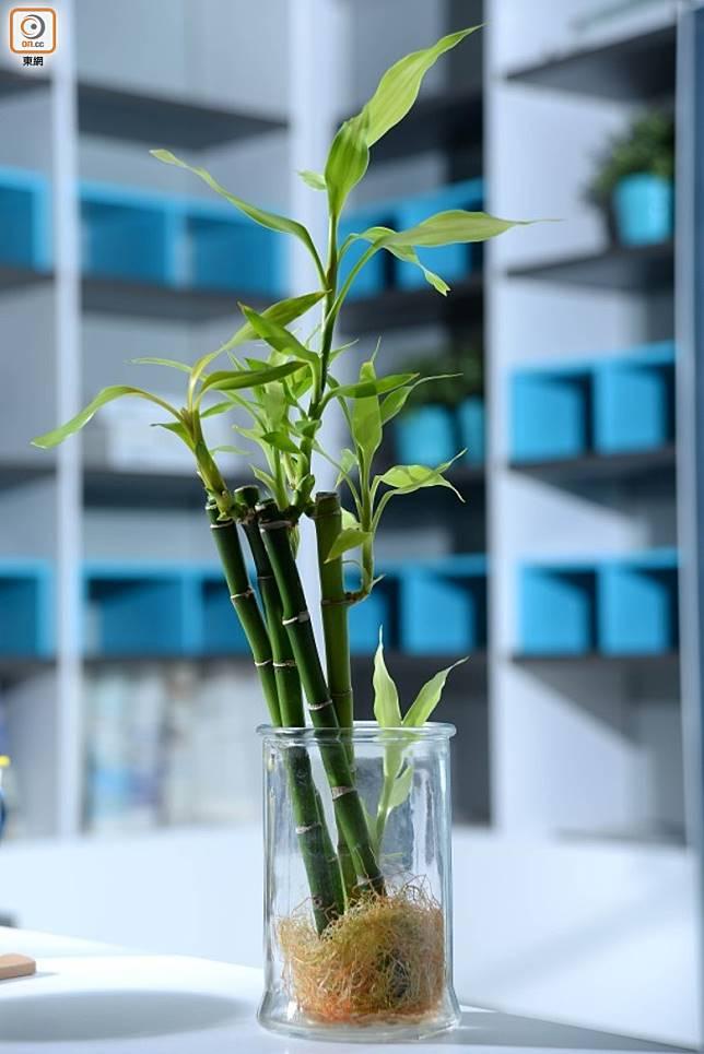 東南位不宜放水種植物,特別是富貴竹,否則投資過程將遇到波折重重。(資料圖片)