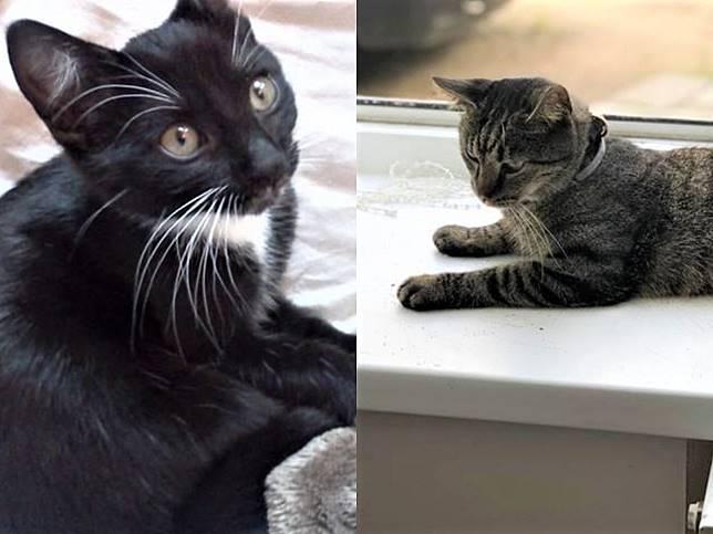 夫妻急尋走失黑白貓 卻見鄰居貓咪瘋狂追趕牠:快點回家啦!