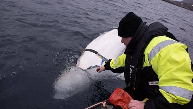 Lumba-lumba beluga ditemukan nelayan Norwegia dengan tali harness.[Jorgen Ree Wiig/fiskeridirektoratet/Sky News]
