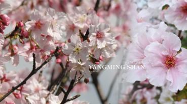 陽明山櫻花季開跑啦!2020陽明山賞櫻景點、交通資訊懶人包,快趁櫻花盛開時來踩點!