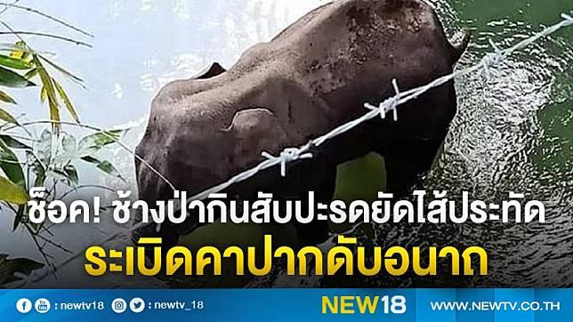 ช็อค! ช้างป่ากินสับปะรดยัดไส้ประทัด ระเบิดคาปากดับอนาถ