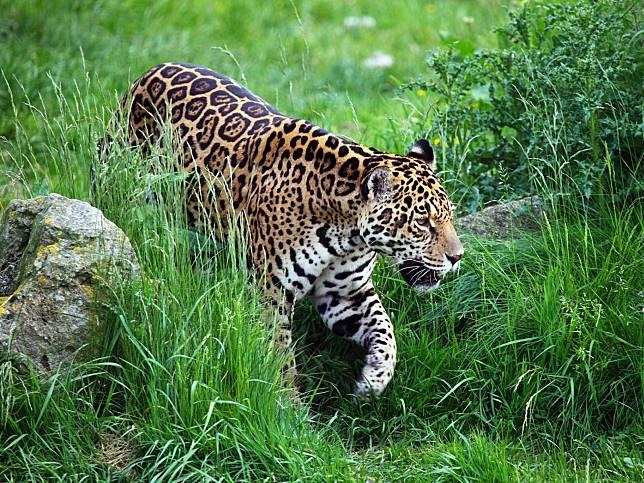 濕地見美洲豹啃咬塑膠瓶 攝影師目睹這一幕心碎:那不是玩具呀!