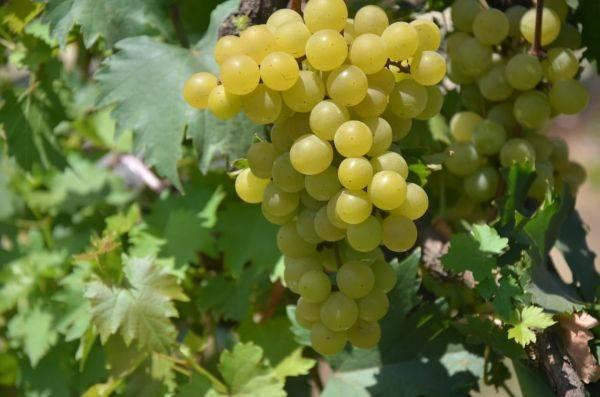 Anggur varietas yang diberi nama Janetes SP1.