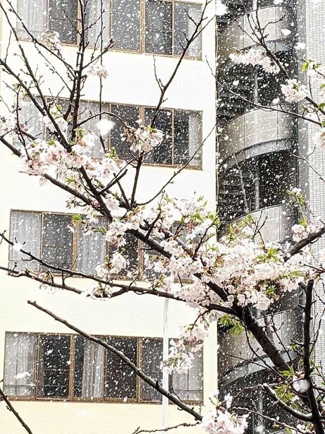 罕見的櫻花雪掛美景,豈不美哉。(互聯網)
