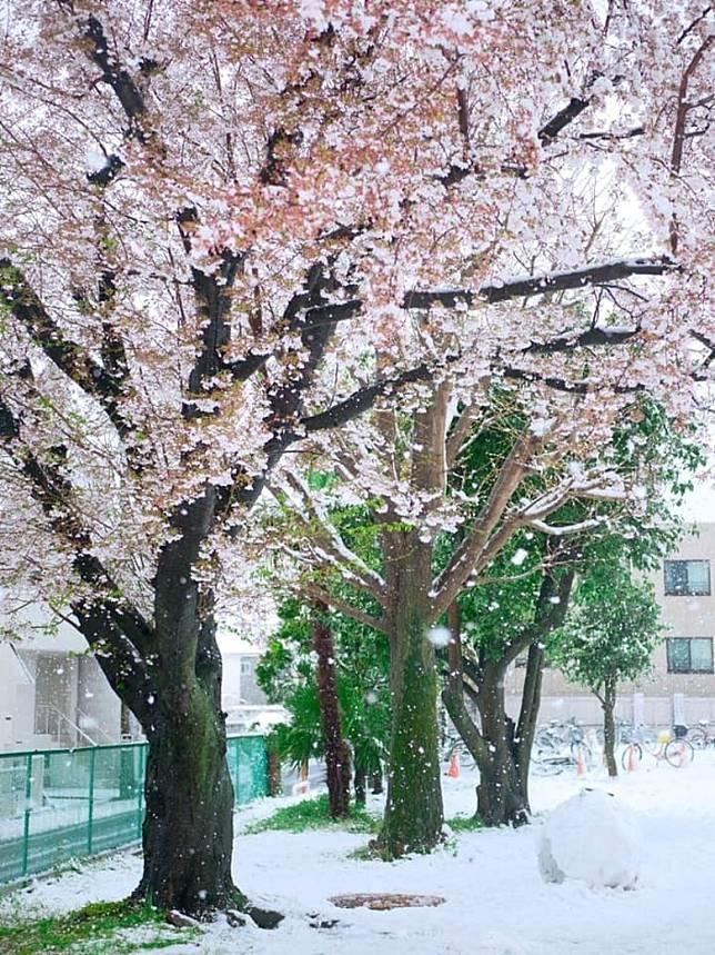 綠油油的草地積下了1cm的積雪,配上粉白的櫻花,是春與冬的結合。(互聯網)