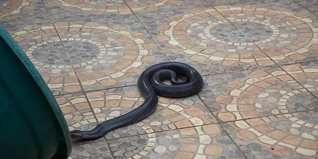 Kasus Ular Kecil di Tubuh Jenazah, Anak Kobra Disebut Lebih Berbahaya daripada yang Dewasa