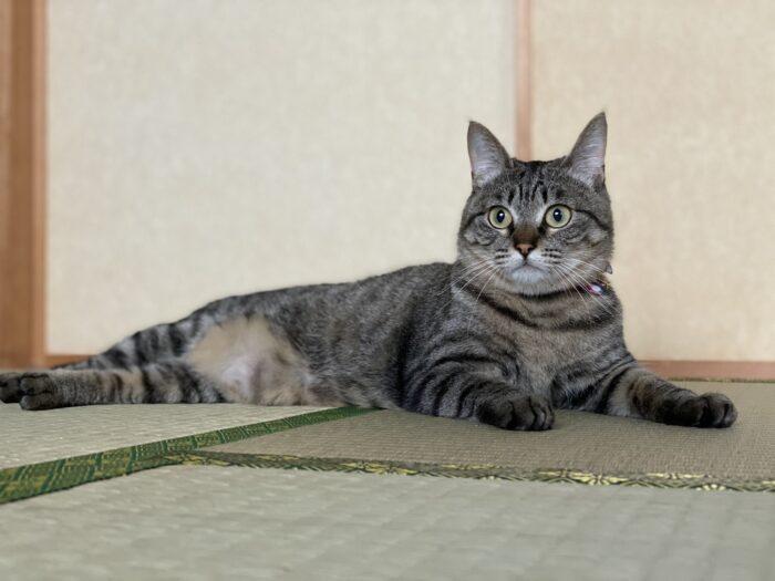 在日本領養貓很困難