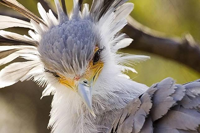Secretary bird: Burung Cantik dengan Bulu Mata Anti Badai