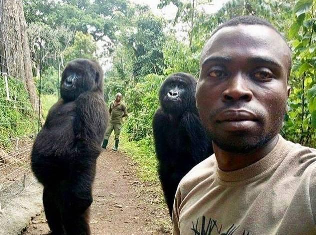 Dua gorila yang ikut selfie bersama petugas taman nasional.