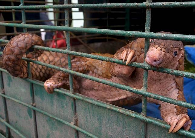 This file photo taken in Pekanbaru, Riau province on October 25, 2017 shows a pangolin seen in a cage after a recent raid in Pekanbaru. Pangolin in Indnesia are at risk of extinction thanks to an illicit trade that sees thousands of the critically endangered trafficked each year, a stury showed on December 21, 2017.