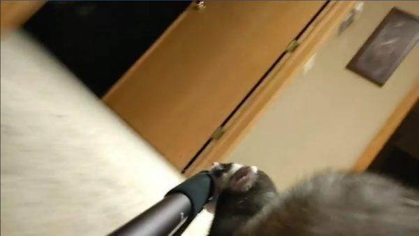 想賣房?調皮雪貂咚咚咚偷咬自拍棒帶導覽 一旁貓咪全看傻