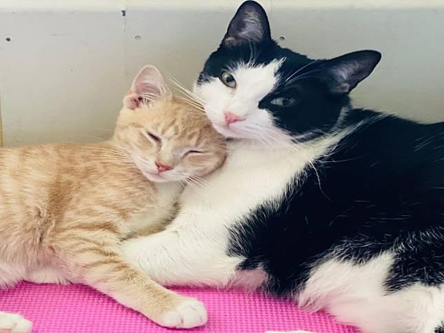 賓士貓愛心大爆發 一年幫中途帶25隻小貓根本孩子王!