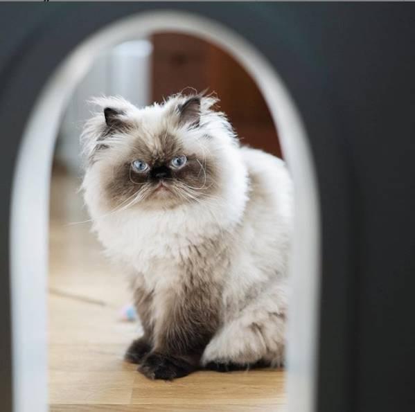 4 Jenis Kucing Persia Kenali Ciri Khasnya Masing Masing Merdeka Com Line Today