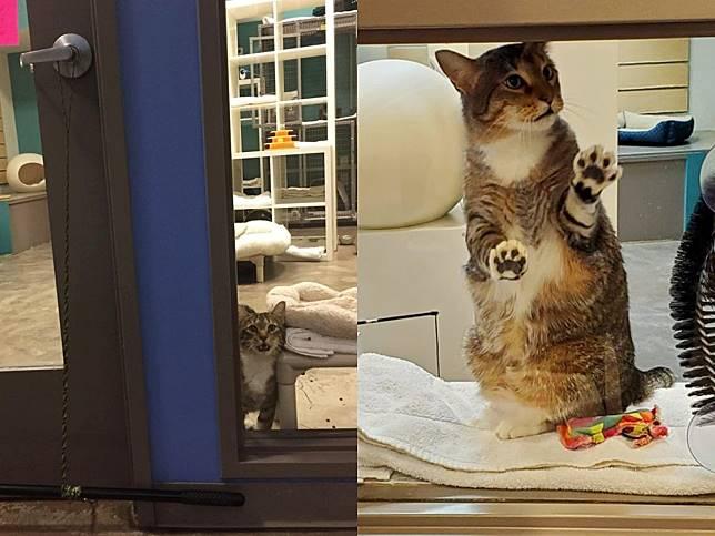 調皮貓咪頻開門讓同伴去放風 收容所多次與牠鬥志反擊!