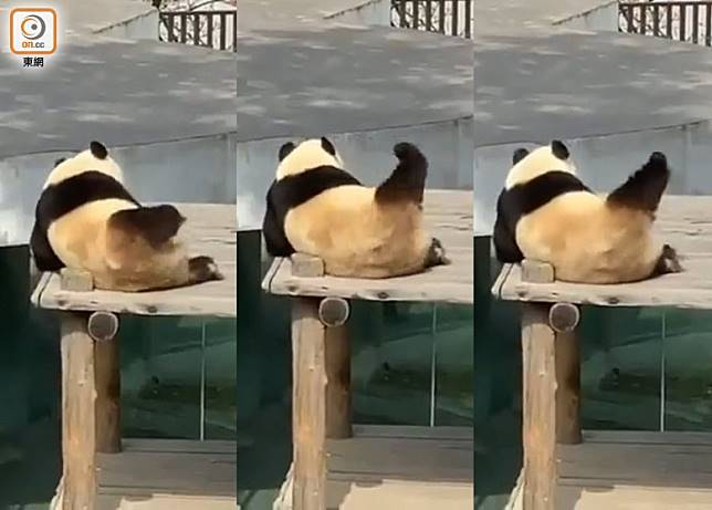 熊貓在木板上舉起單腳拉筋打圈,好有動感!(影片截圖)
