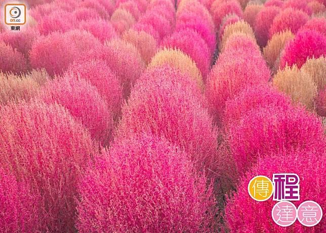 韓國近年的秋日熱門打卡相,是一片粉紅的粉黛亂子草田。(相片Shutterstock)