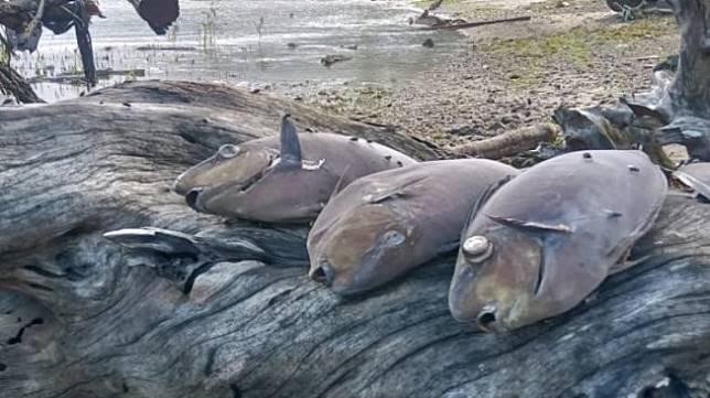 Uji sampel ikan yang mati di sejumlah kawasan sepanjang Pantai Ambon, Maluku. (Antara)