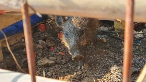 Sejumlah Alasan yang Bikin Warga Depok Yakin Babi yang Ditemukan Babi Ngepet (1)