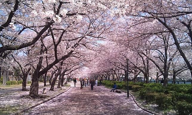 大阪造幣局的櫻花屬晚開期,若遲來一步,錯過了其他地方的櫻花,這裏絕對是補飛首選。(互聯網)