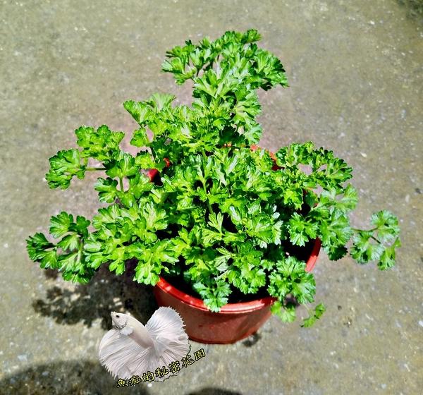 [大巴西里 大歐芹菜盆栽] 5-6吋盆活體香草植物盆栽, 可食用可泡茶