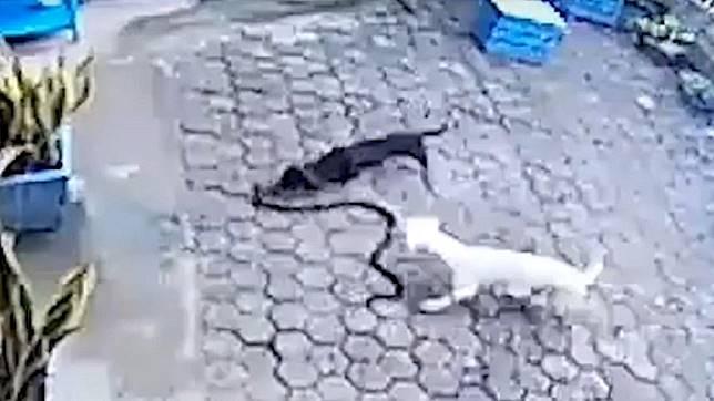 狗蛇大戰,造成1死1傷。圖/截自 Any Articles YouTube
