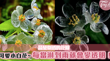 可愛小白花,每當淋到雨就會變透明!晶瑩剔透的花瓣,也太唯美了吧~