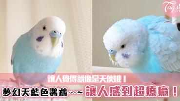夢幻天藍色鸚鵡~讓人感到超療癒!童話般的外表,讓人覺得就像是天使哦!