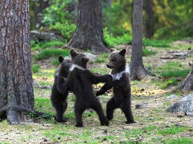 芬蘭老師拍到三隻小熊在森林跳舞 超萌模樣太犯規啦!