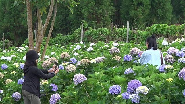 ดอกไฮเดรนเยียนับล้านดอกบานสะพรั่งรับลมหนาวบนดอยขุนแปะ