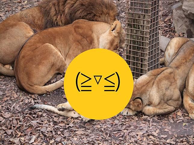 日本群馬動物園小獅子翻肚瞇眼睡姿超萌 網笑:貓咪無誤!