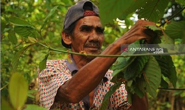 Seorang petani kratom sedang memetik daun kratom di wilayah Kapuas Hulu, Kalimantan Barat. (ANTARA/Timotius)