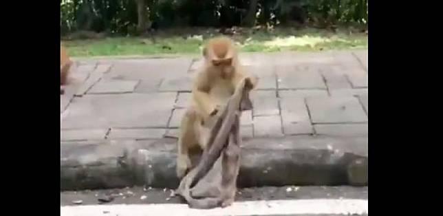 Tangkapan gambar dari video monyet yang memakai kain untuk masker.[Twitter Susanta Nanda/@susantananda3]