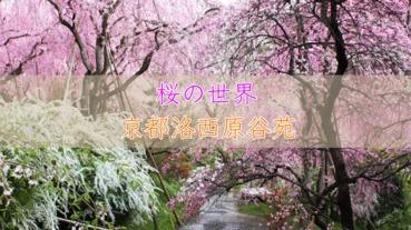 櫻花世界:京都洛西原谷苑