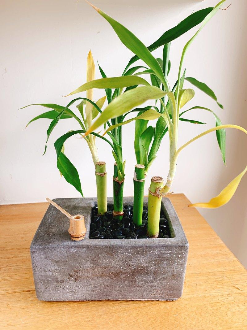 純自然 日式 造景水泥淺盆 禪 竹 盆栽 送禮 療癒 zen 小物