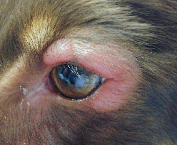 赤い 犬 が の 目