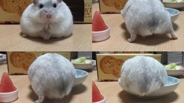 家裡養的倉鼠胖成球 自己爬進盤子看上去很好吃的樣子?