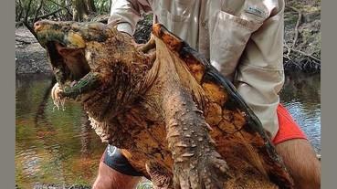 史上最大「鱷龜」現身佛羅里達州!重量高達 100 磅、兇猛如肉食性恐龍