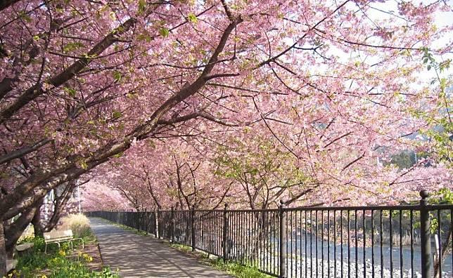 Unduh 64 Gambar Bunga Sakura Dan Ciri Cirinya Terbaik