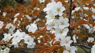 日本發現約100年來首個櫻花新品種