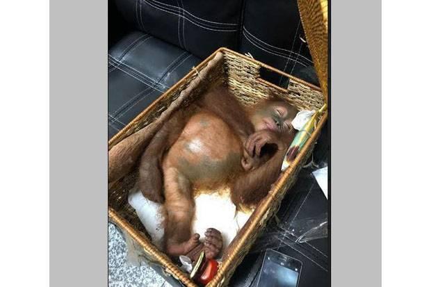 Dicekoki Obat Tidur, Bayi Orangutan Nyaris Diselundupkan ke Rusia