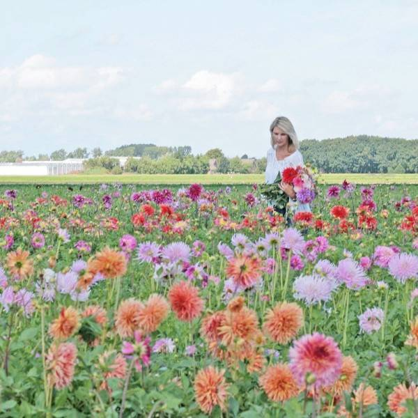 10 Potret Keindahan Ladang Bunga Dahlia Saat Musim Panas Di Belanda