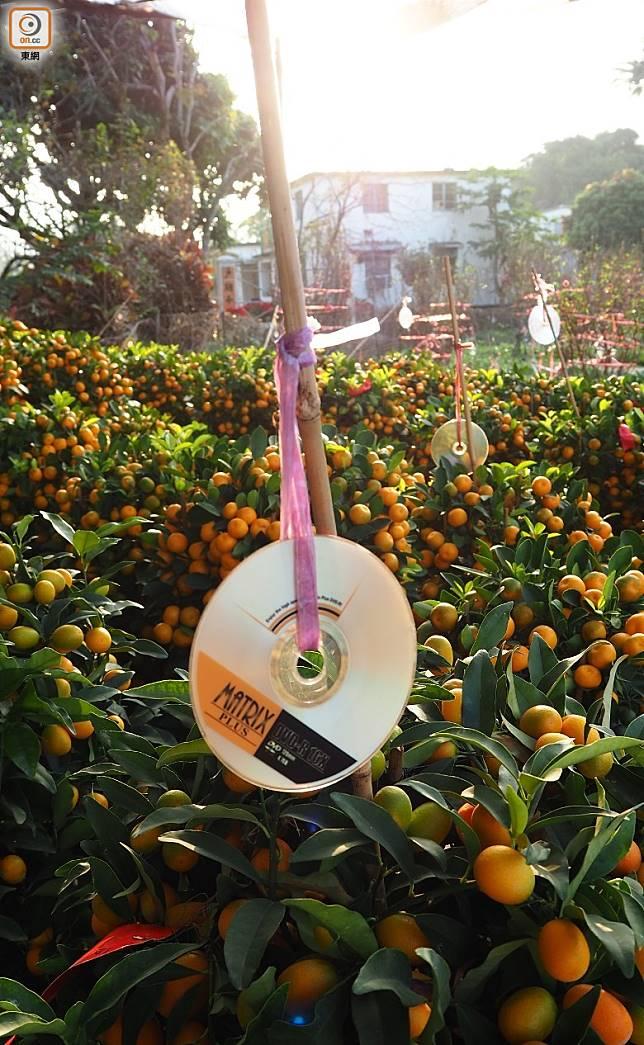 這裏也種植了很多年桔,很多植物都掛上了光碟,利用它折射的光線防止鳥類和害蟲靠近。(馮子伊攝)