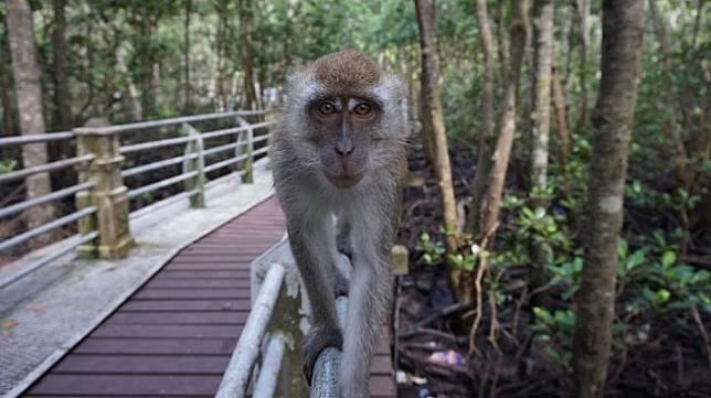 Ilustrasi monyet. (Pixabay/da-holledauer)