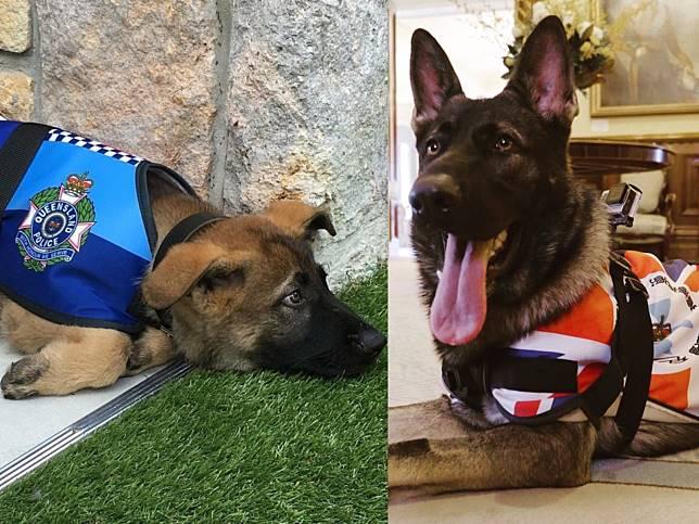 德牧警犬被開除只因「對人太好」 卻迅速找到超威風新工作!