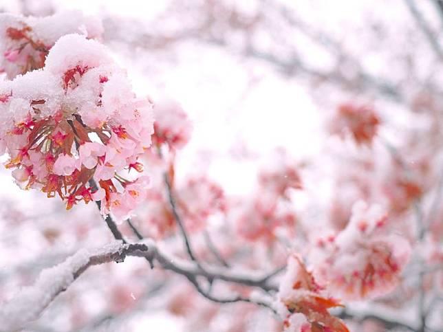 粉嫩嬌艷的櫻花配上純白的雪花,形成了「雪櫻」,意外的好看。(互聯網)