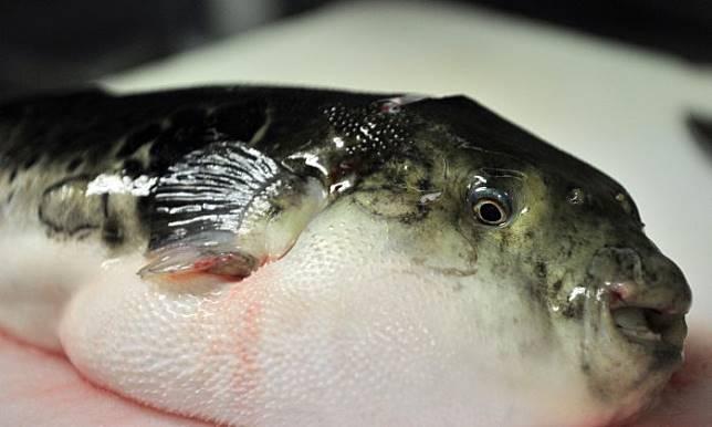 Nekat Makan Telur Ikan Buntal Goreng, Dua Nelayan Myanmar Tewas