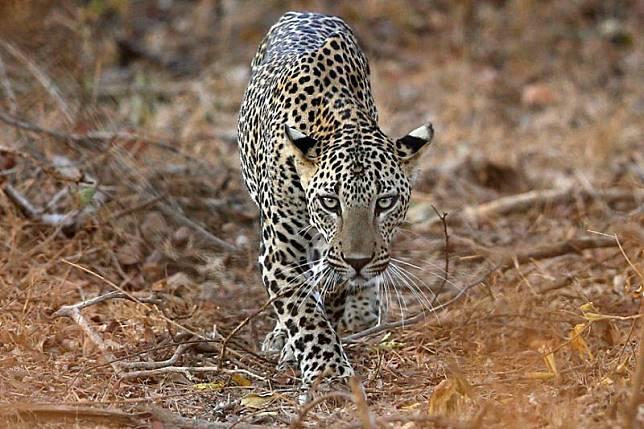 Bisakah Kamu Temukan Leopard di Foto Ini?